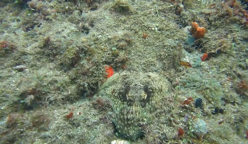 Vidéo: une pieuvre incroyablement camouflée surprend un plongeur