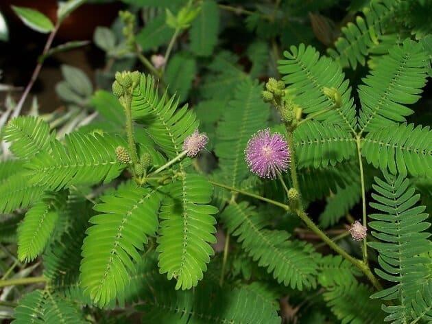 Plantes fascinantes Mimosa-pudica