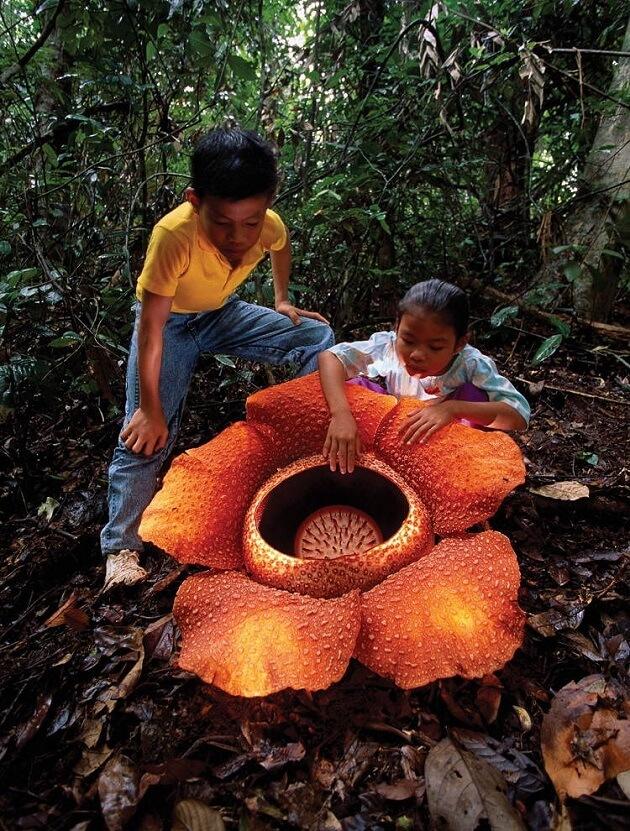 Plantes fascinantes, Rafflesia arnoldii