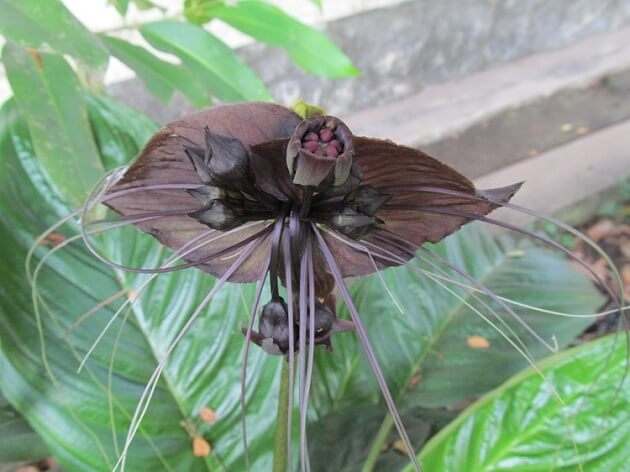 Plantes fascinantes Tacca chantrieri