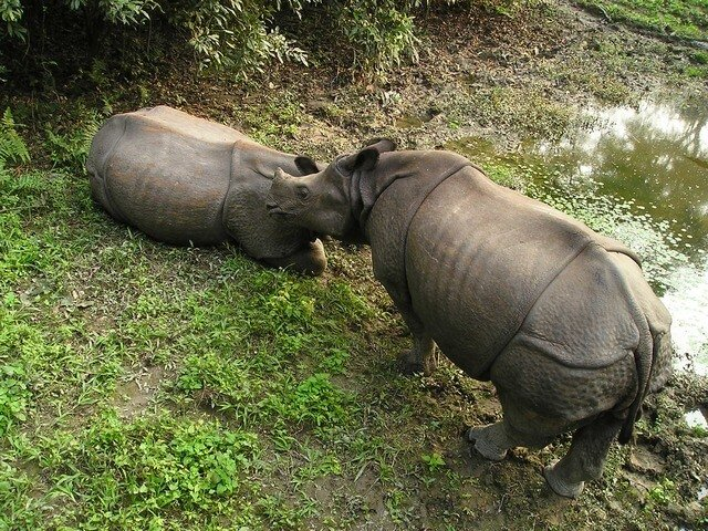 Rhinoceros, Chitwan parc national, Népal