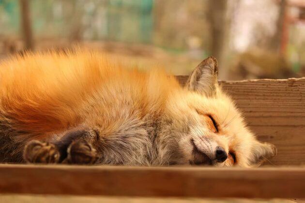 Au Japon, un village est peuplé de renards qui sont à croquer