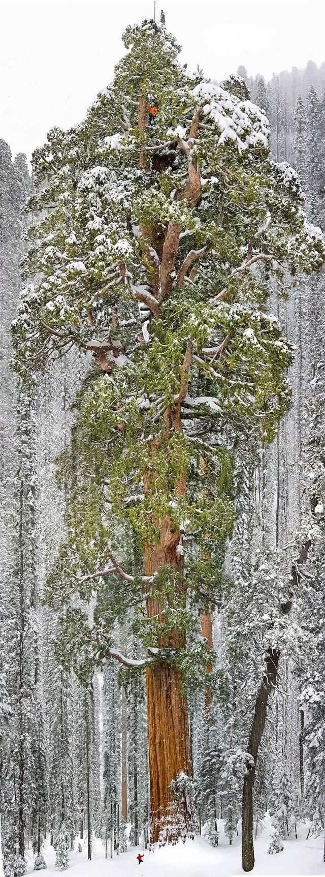 Photo du plus vieux séquoia géant au monde, le Président