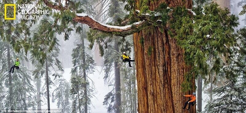 Le plus vieux séquoia du monde, âgé de 3200 ans, photographié en entier