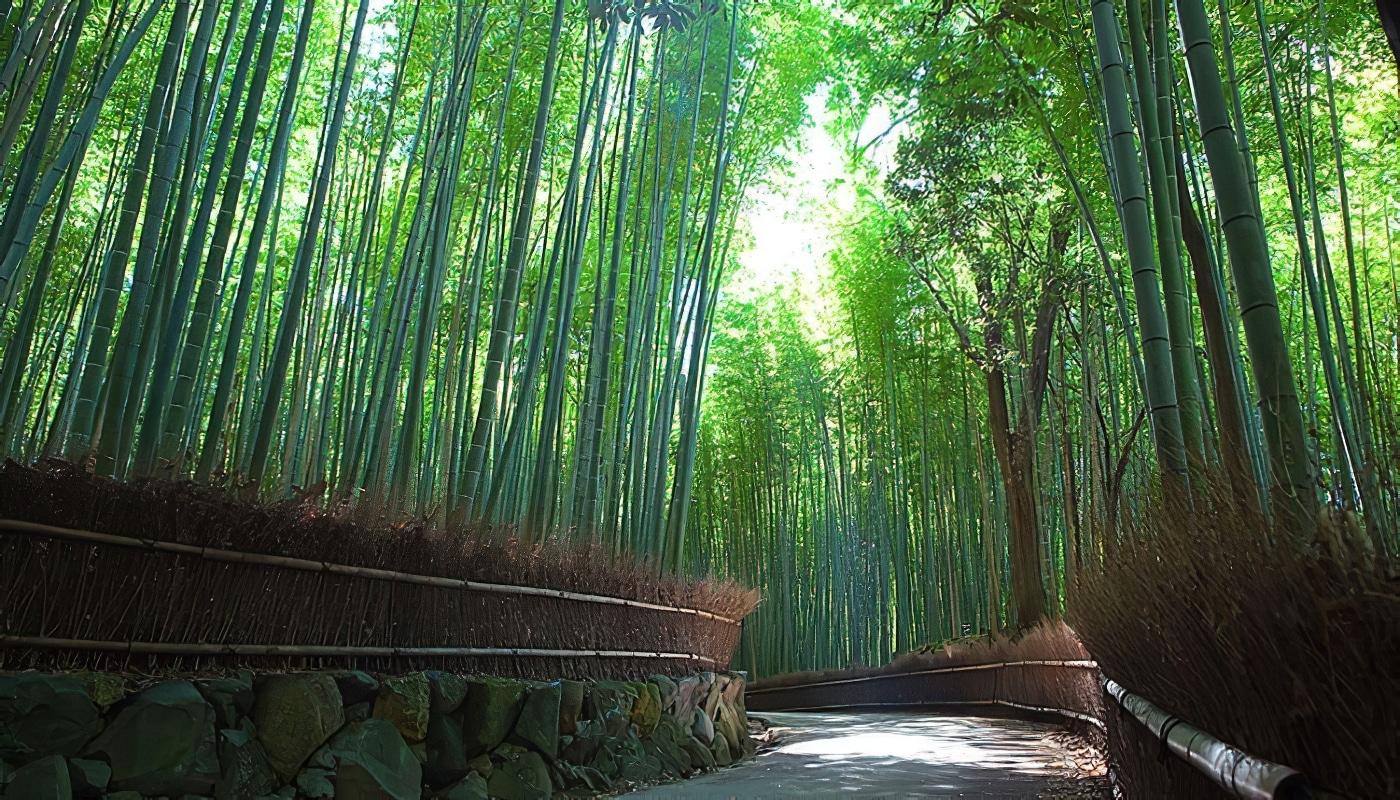 La forêt de bambous d'Arashiyama près de Kyoto