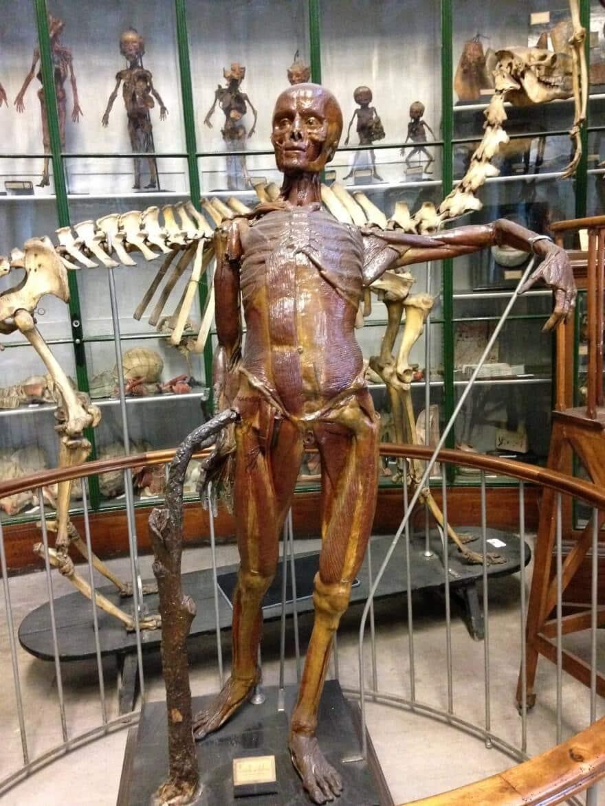 écorché, musée d'anatomie Montpellier