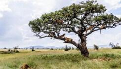 Pour échapper à de petites bêtes, ces lions se réfugient dans un arbre