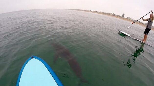 De grands requins blancs encerclent des paddleboarders en Californie