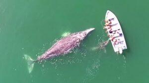 baleines grises, bateau, touristes, video