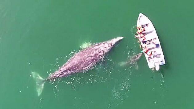 Vidéo: des baleines grises se laissent caresser au Mexique