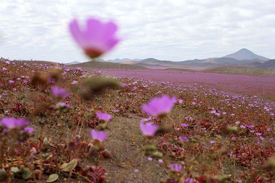 Désert d'Atacama, fleurs, Chili