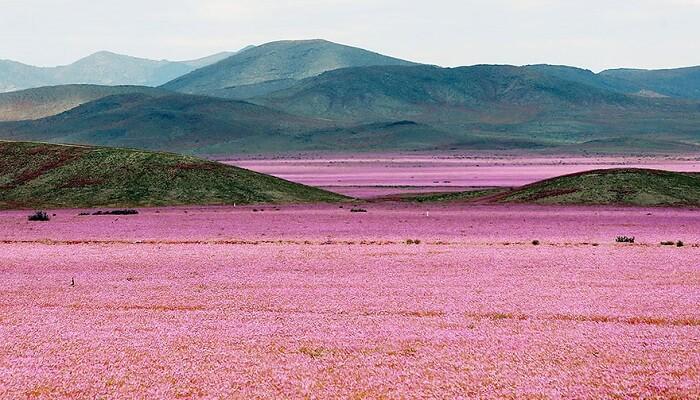 CHILI : LE DÉSERT DE L'ACATAMA EN FLEURS Desert-atacama-fleurs-chili-photo-principale