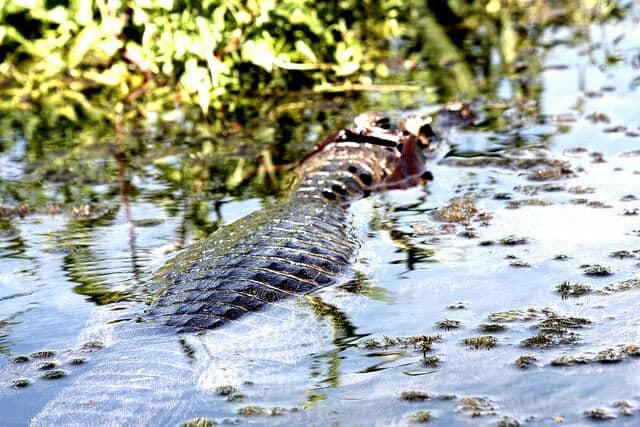 Caiman yacare, Pantanal, Brésil