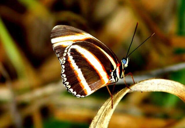 Dryadula Phaétusa, Pantanal, Brésil