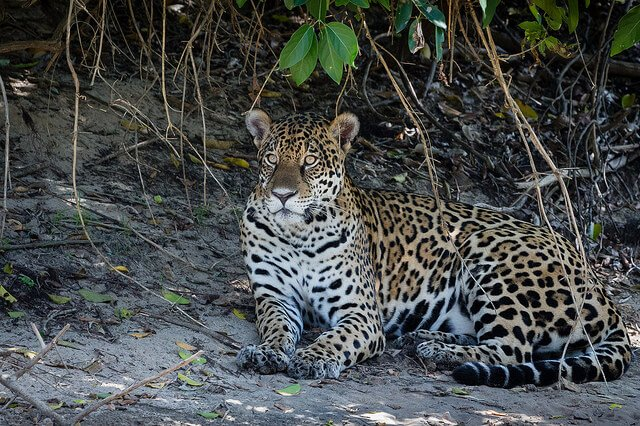 Jaguar, Pantanal, Brésil