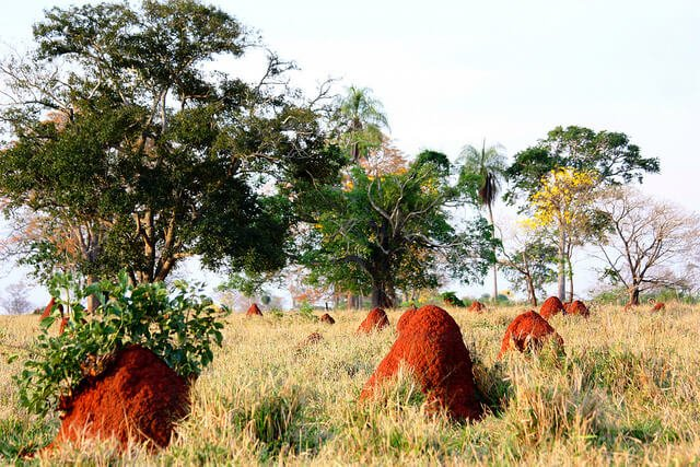 Termitières, Pantanal, Brésil