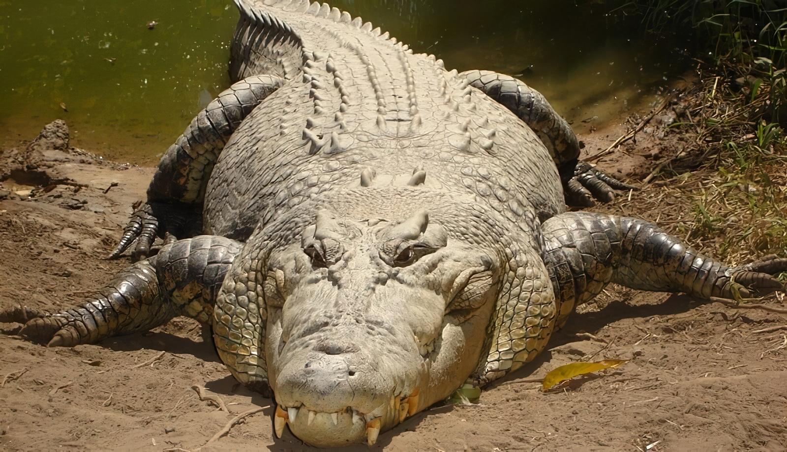 Île Ramree, crocodiles marins, île dangereuse