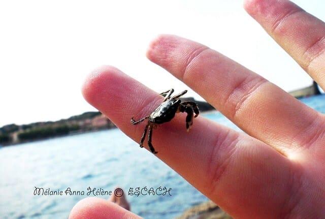 collioure-crabe
