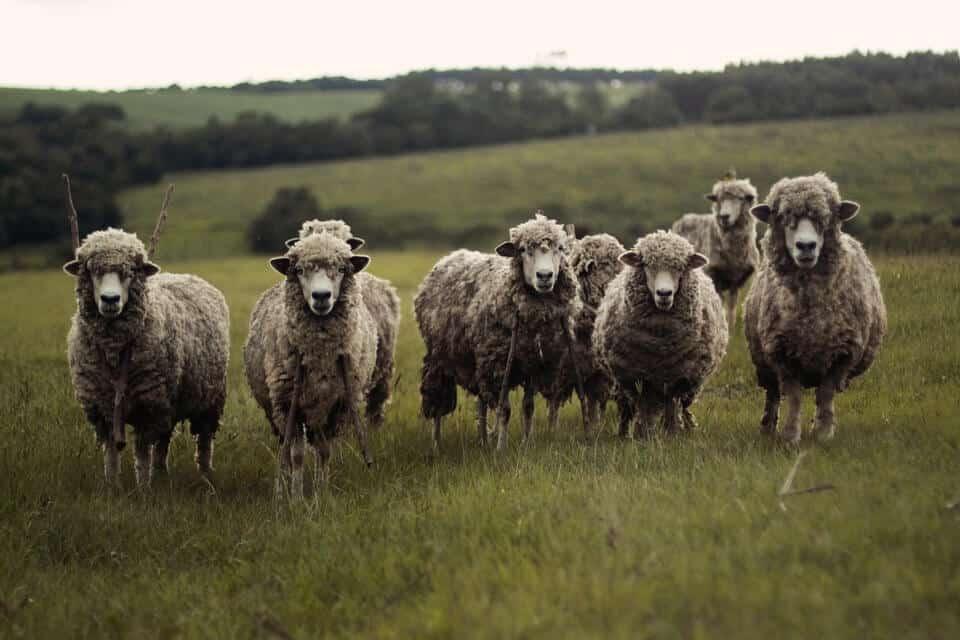 moutons-police-nouvelle-zelande