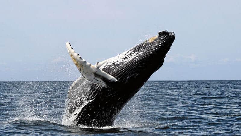 observer des baleines au Stellwagen Bank National Marine Sanctuary