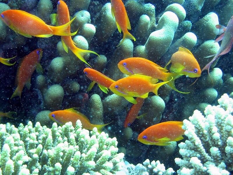 Corail et poisson dans la Mer Rouge