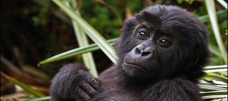 Parc National, Kahuzi Biega, Gorille