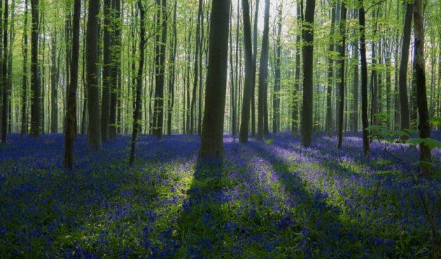 Au printemps, le bois de Hal se vêt d'un tapis bleu