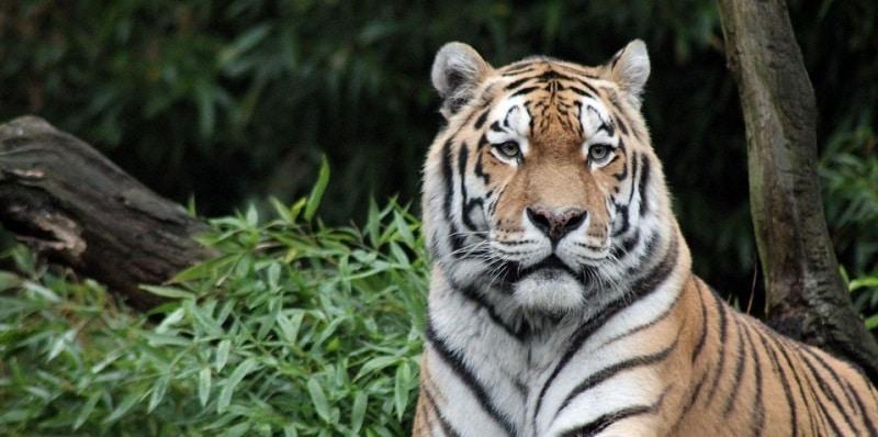 Tigre, Forêt de Sumatra