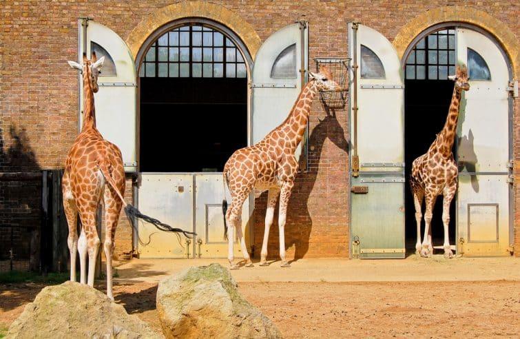 Girafes au zoo de Londres