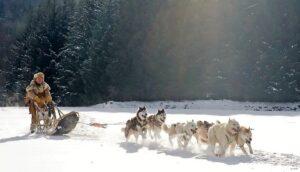 Finlande, chiens de traîneau