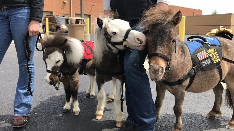 Des poneys dans les aéroports pour détendre les passagers