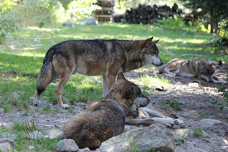 Parc Alpha, Loups, Saint-Martin-Vésubie