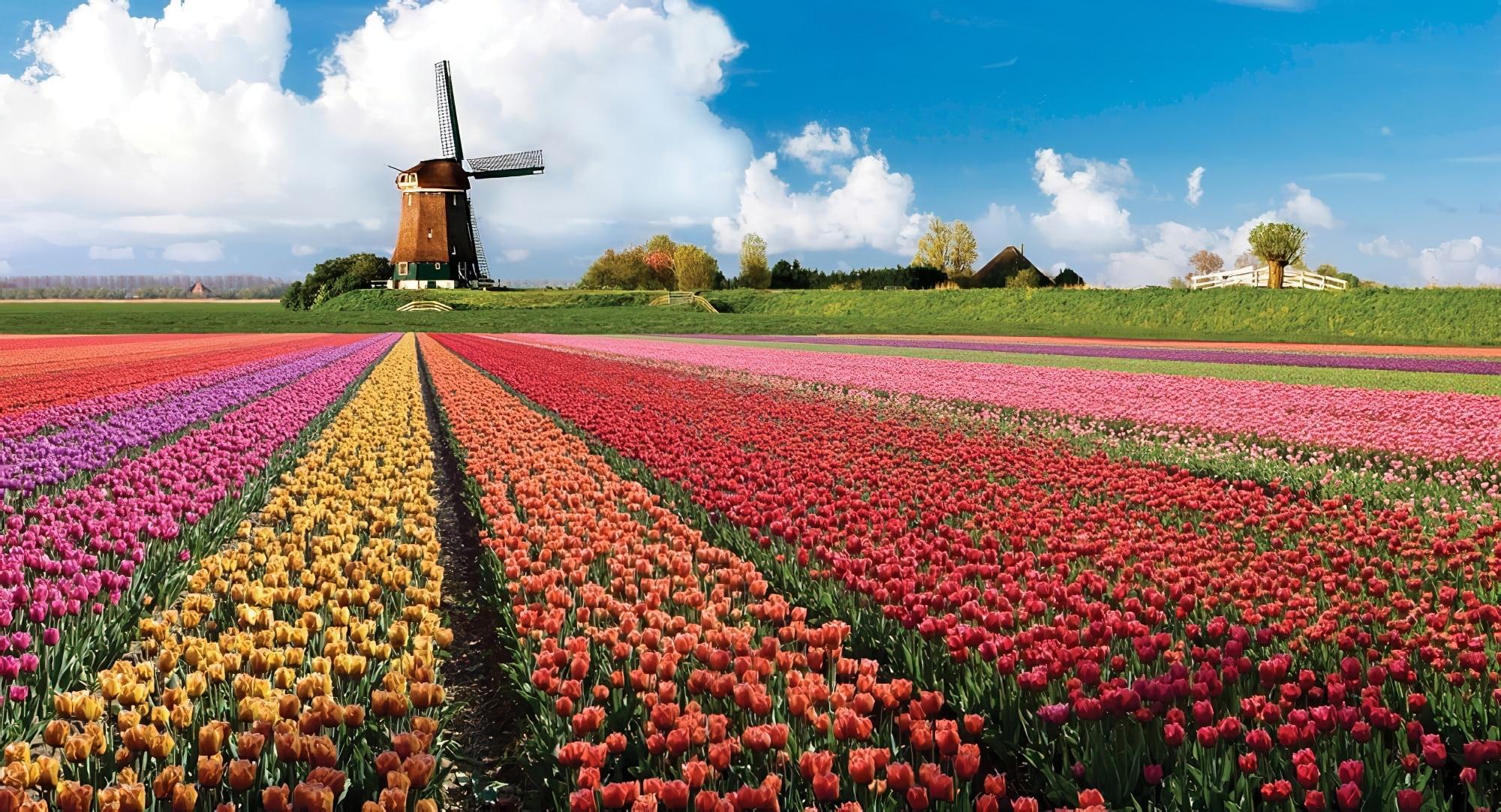 tulipe d'amsterdam