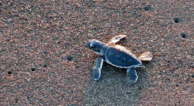 Où voir des tortues de mer au Guatemala ?