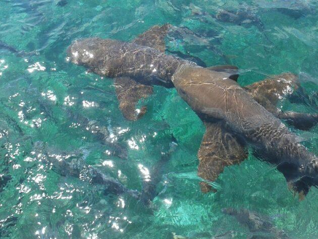 Observer des requins à la réserve marine de Hol Chan au Belize