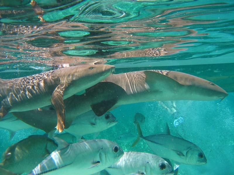 Requins nourrice