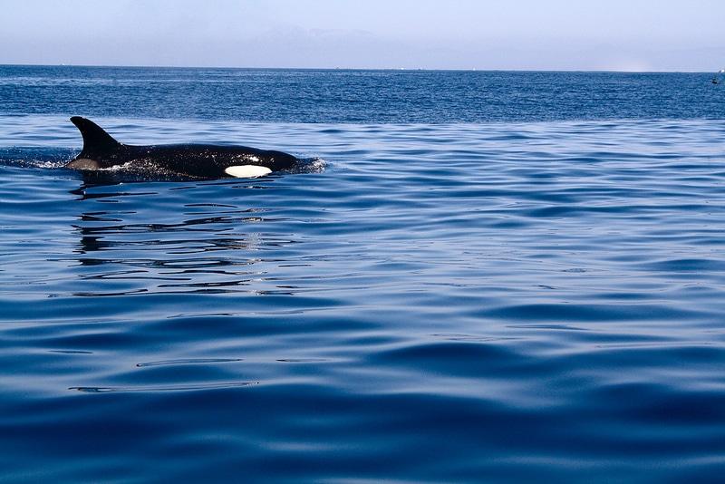 Une orque à Tarifa, Cadix