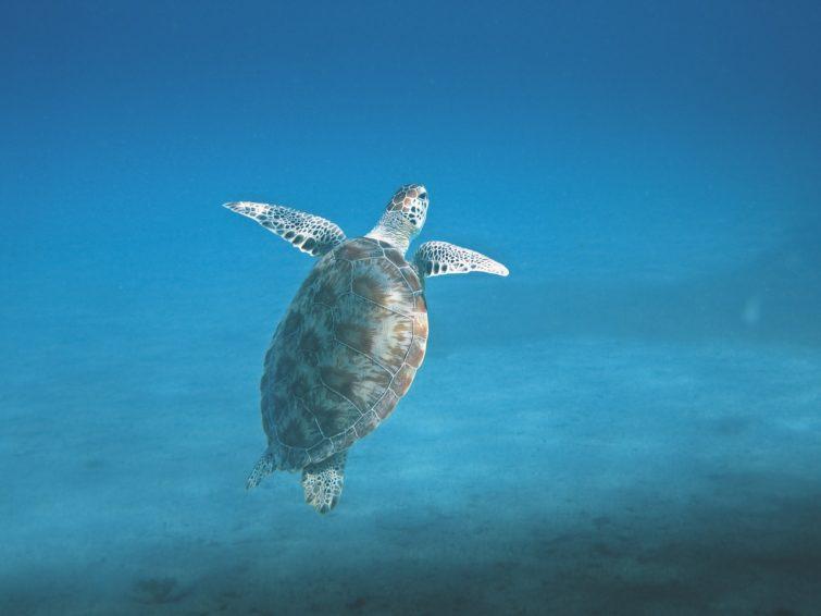 Snorkeling avec les tortues, plongée, Gran Canaria