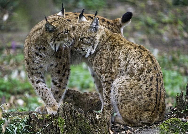 Lynx, Zoo de Mulhouse