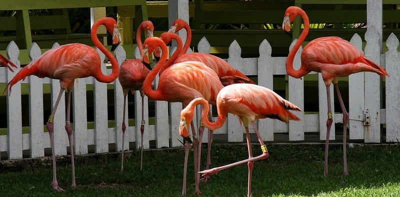 Pink Flamingos Nassau Zoo