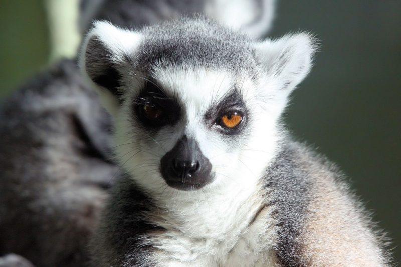 Lémurien, Zoo de Bristol