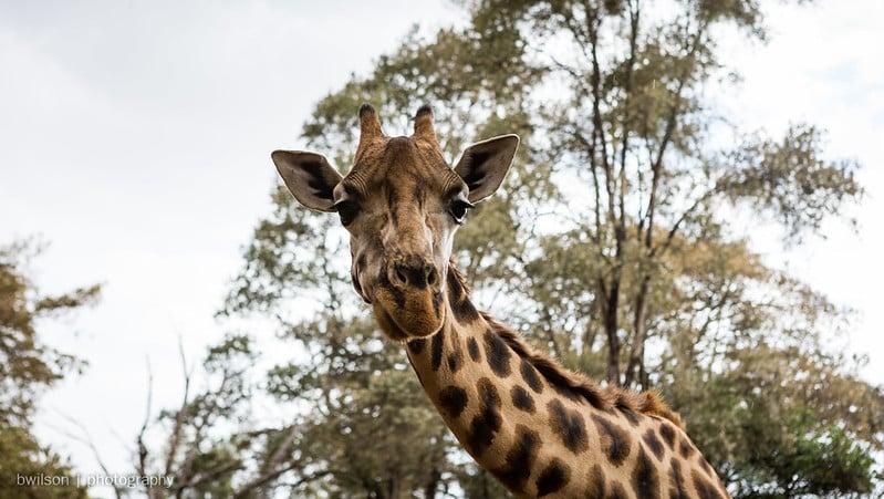 Giraffe Centre, Langata, Nairobi