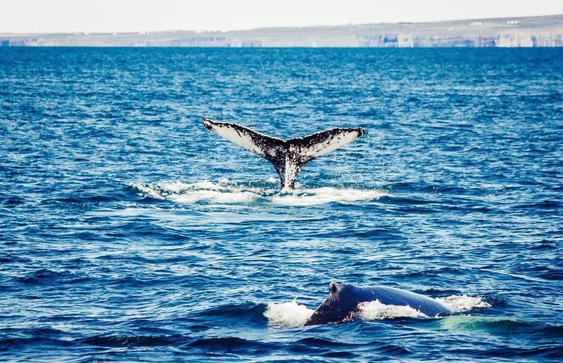 Observer les baleines à Husavik, Islande