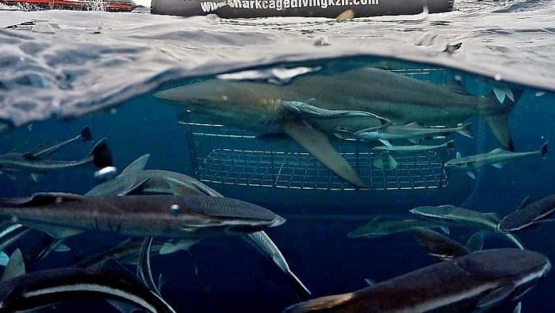 Plongée avec les requins, Durban