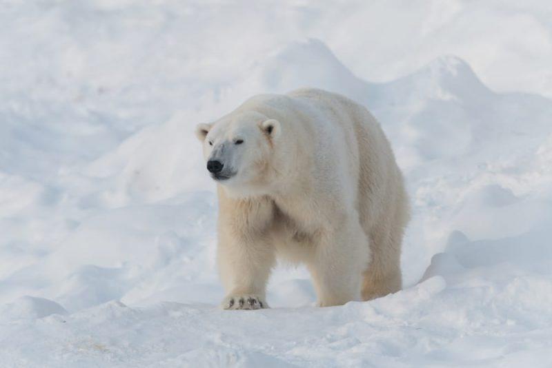 Ours polaire dans le parc national de Ranua, Finlande