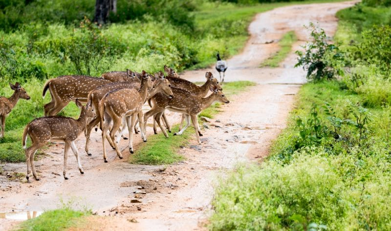 Parc national de Bandipur, Inde