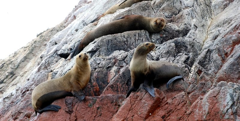 Les îles Ballestas, loups marins, Pérou
