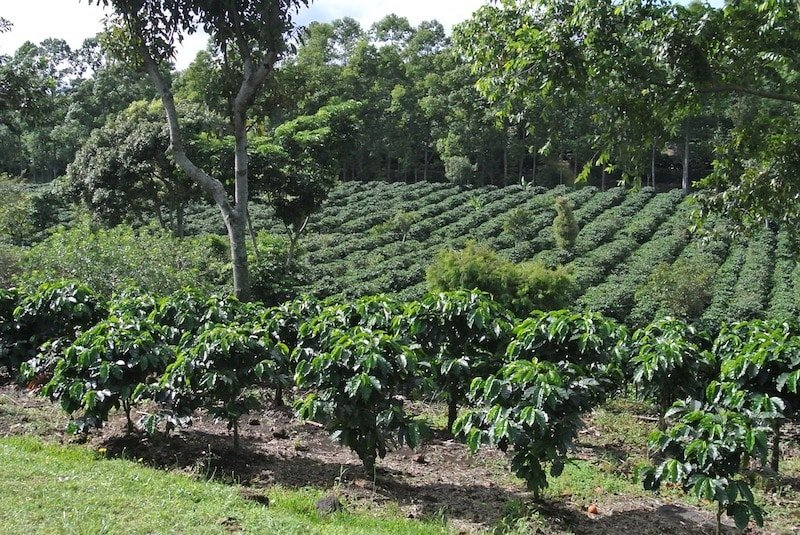 Plantation de café, Costa Rica