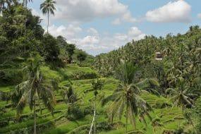 Rizières en Indonésie