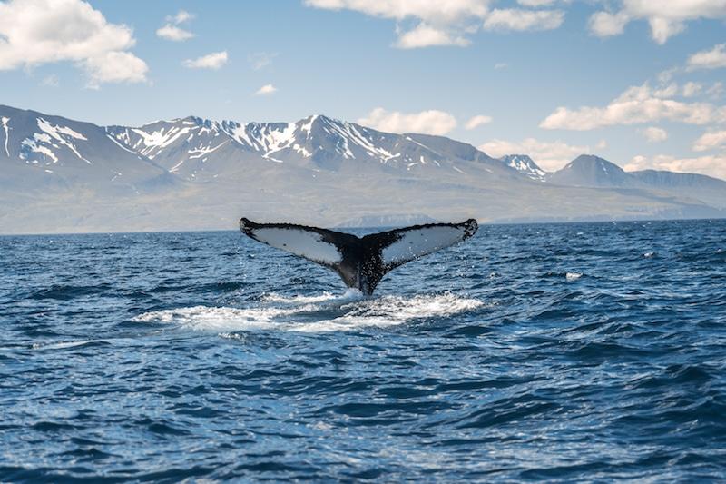Observation de baleines, Islande